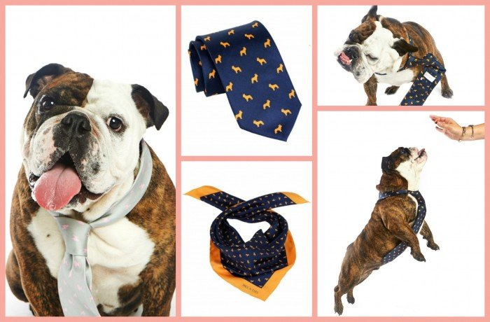 Bulldog-wearing-necktie