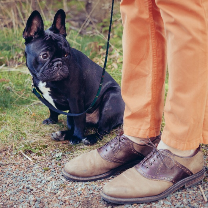 french-bulldog-handsome-model