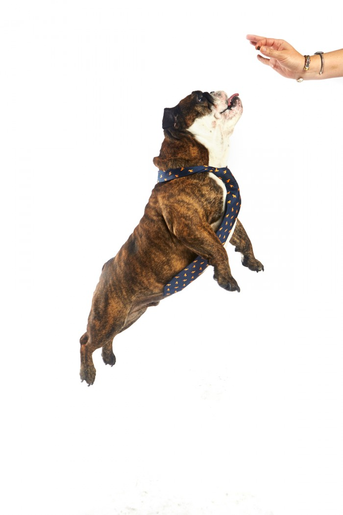 jumping-fat-english-bulldog-necktie